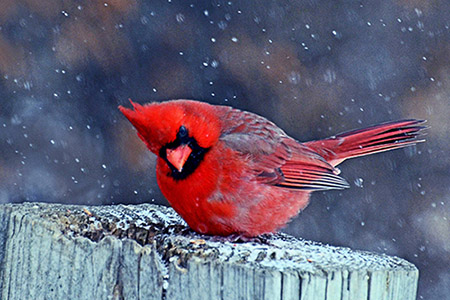 A cardinal bracing itself against the wind and snow.