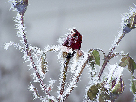 A budded rose covered in ice crystals.
