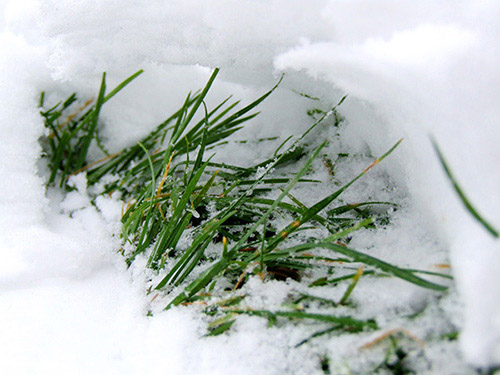 Grass peaking through a footprint in the snow.