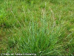 A patch of annual ryegrass.