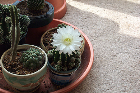 Picture of small cacti growing in containers.