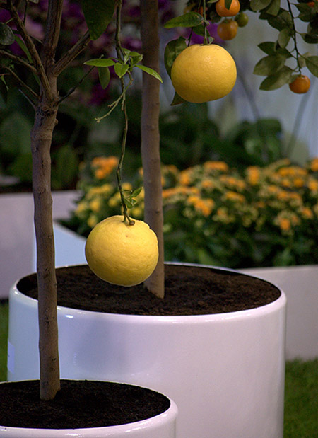 Lemons growing on trees in large white containers.