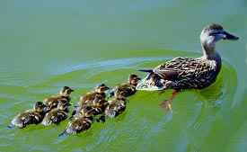 A mother duck and her ducklings swimming in a large body of water.