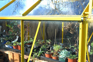 Looking into a medium sized greenhouse with plants growing on shelving inside.