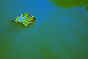 A leaf floating in a lake.