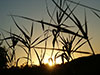 Prairie grass silhouetted against a late sunset.