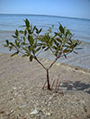 A single tree sapling growing on a beach at the waters edge.