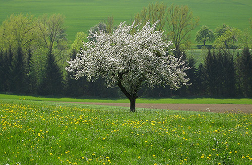 A single blossoming tree alone in a field with a large strand of trees far in the background.