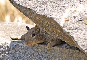 Photograph of a squirrel peaking behind a rock.