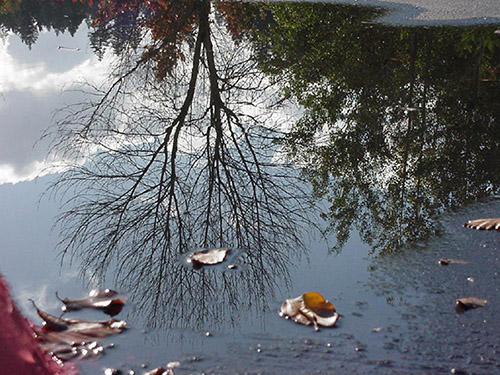 A tree without its leaves shown in a reflection in a body of water.